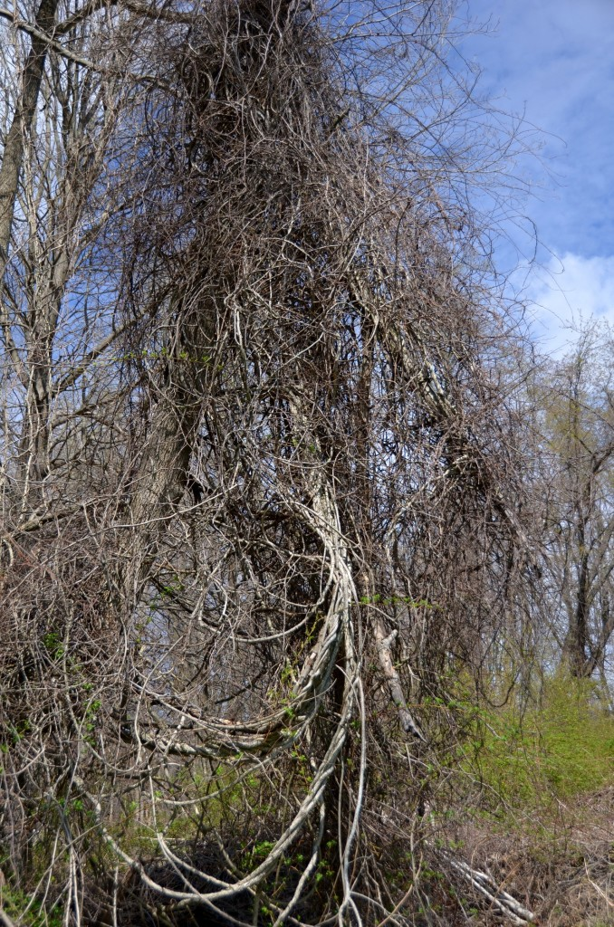 Bittersweet vine engulfing a tree